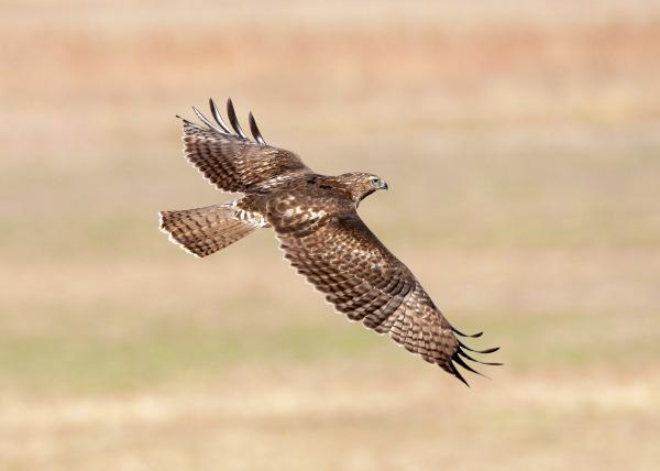 Red-tailed Hawk Bosque Del apache/Peter Massas/CC2.0