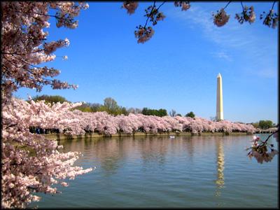 cherry blossoms D.C.