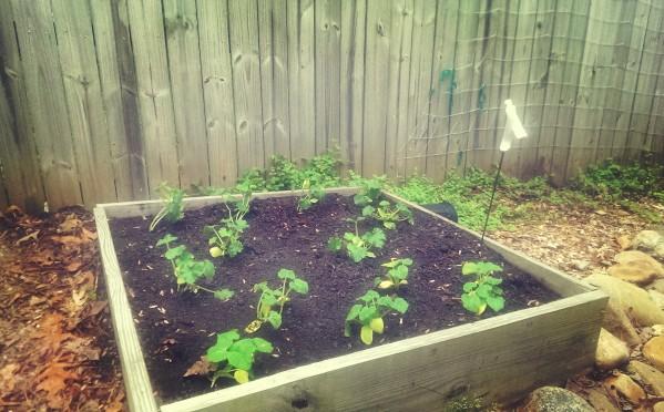squash zucchini cucumbers before